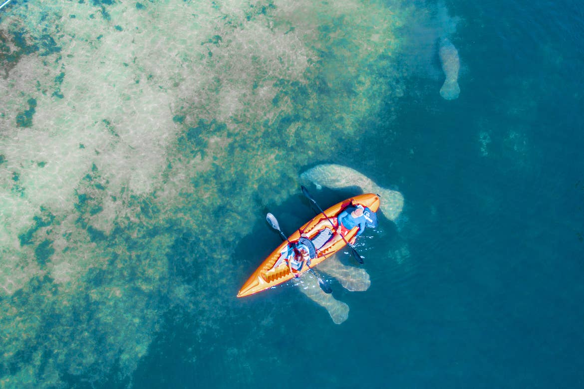 A pair of kayakers float above some migratory manatees
