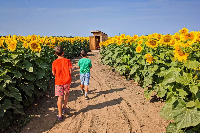 Two boys go through a sunflower maze.