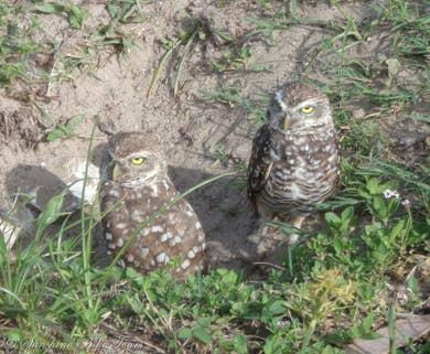 Burrowing owls on Marco Island, Florida.