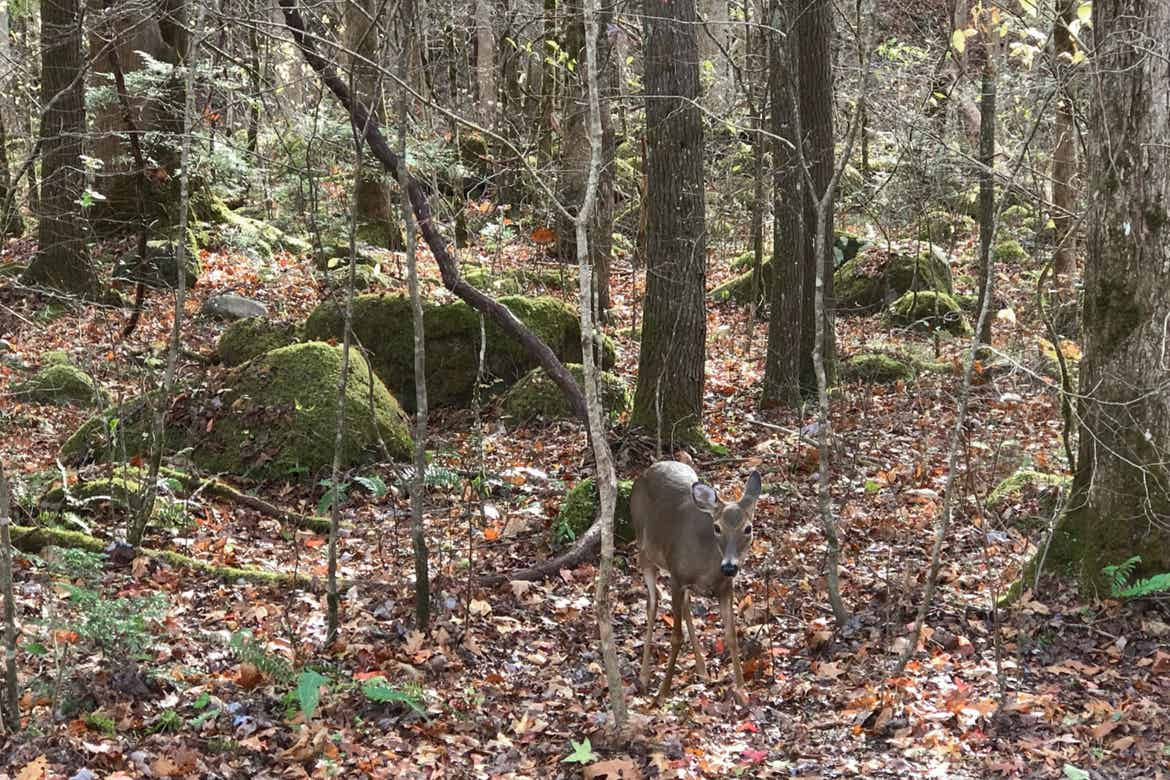 A deer stands in the forest surrounded by fallen leaves.