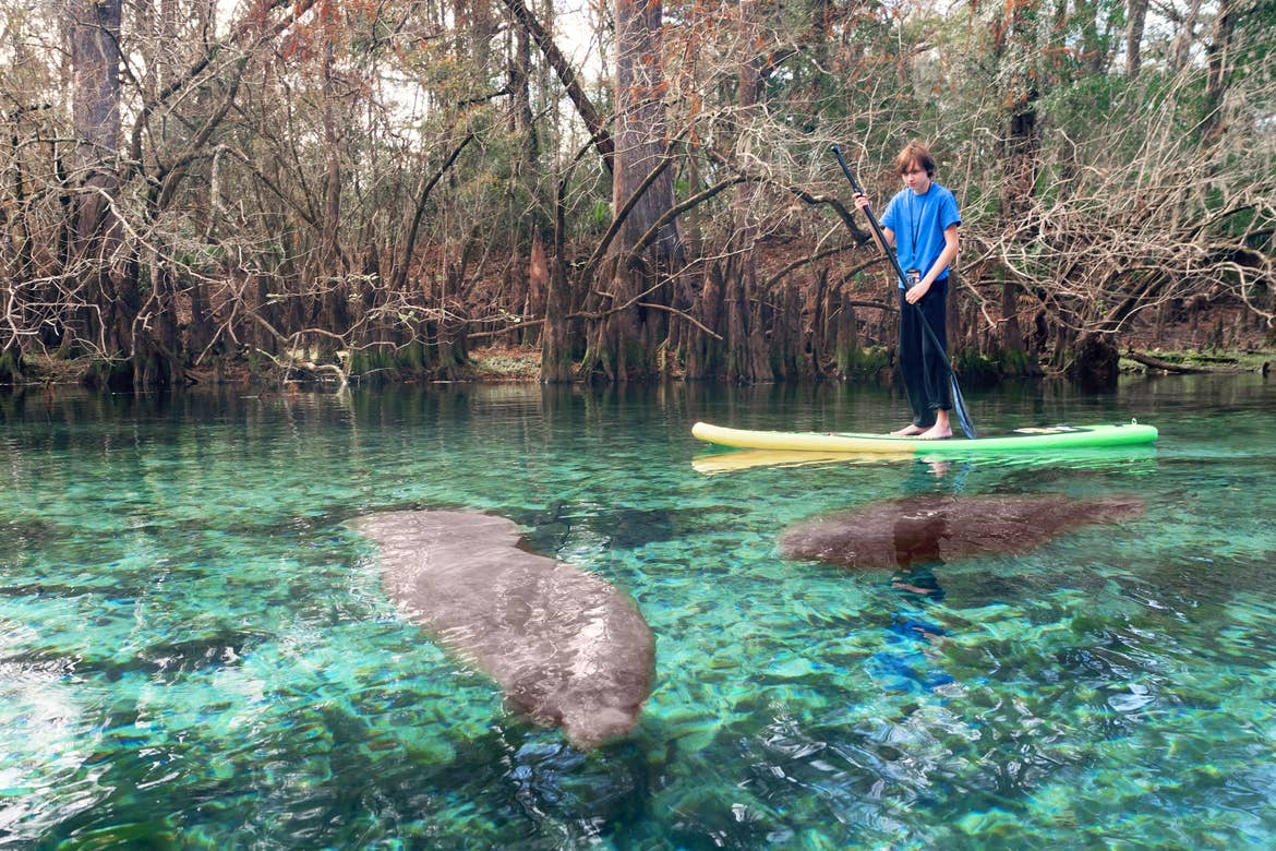 A young boy paddleboards near migratory manatees.