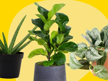 The 10 Best Houseplants and Where to Buy Them