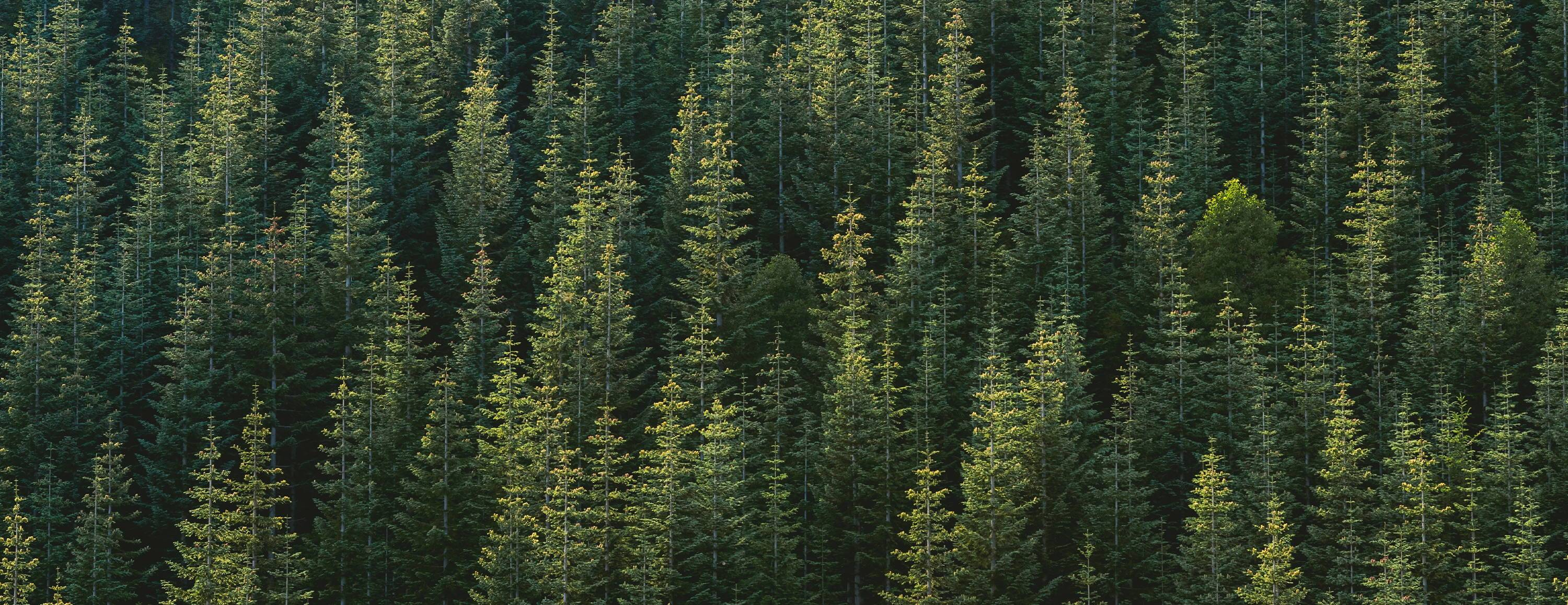 green_forest_of_beautiful_pine_trees