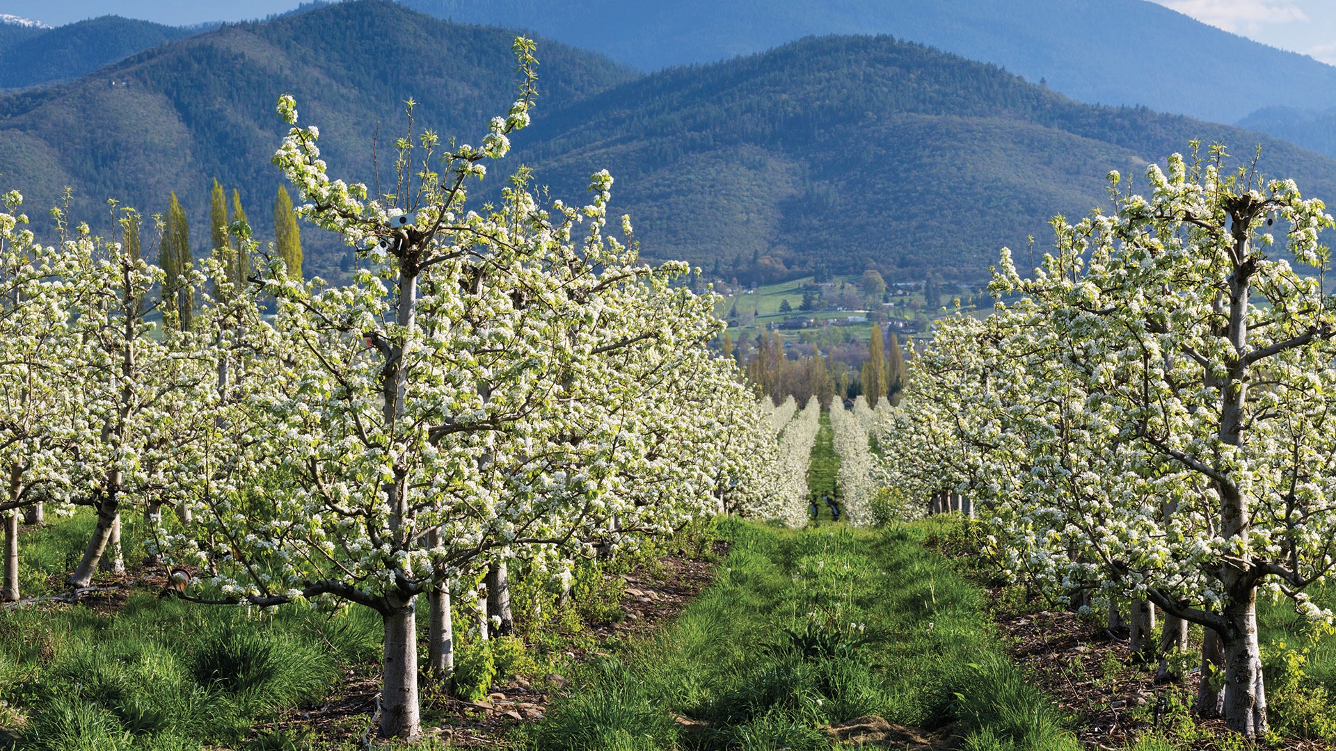Blooming Orchard 2