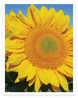 Sunbeam Sunflower
