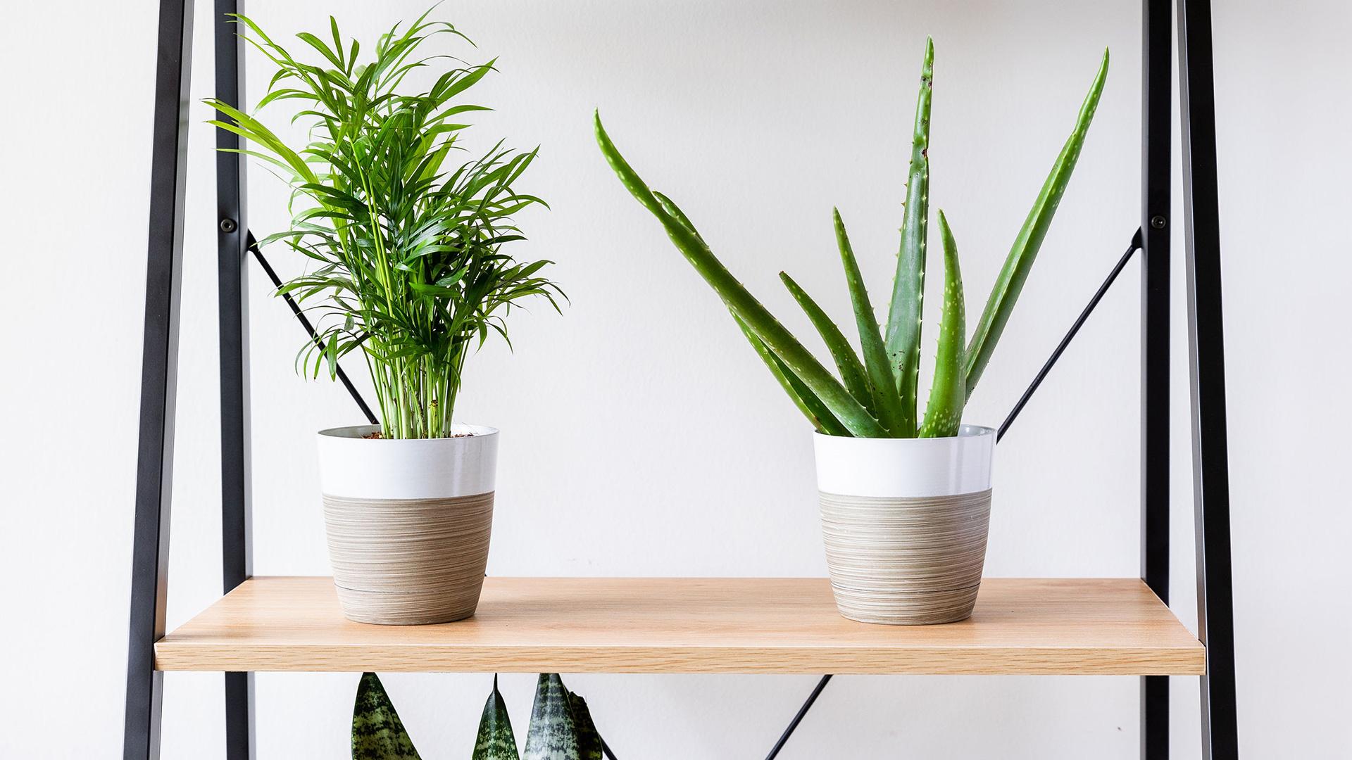 Shelf Plant