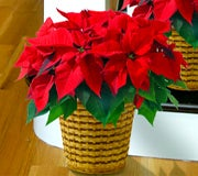 related-articles-top-10-poinsettia-facts.jpg