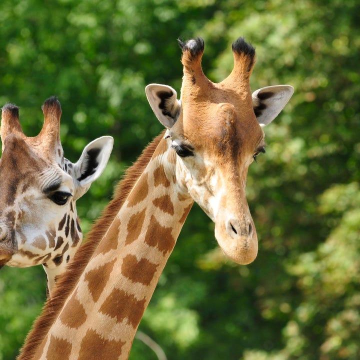 Zoo_Giraffes.jpg