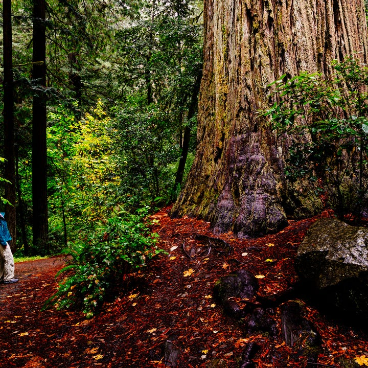 San_Francisco_Redwood_Forest_Trees.jpg
