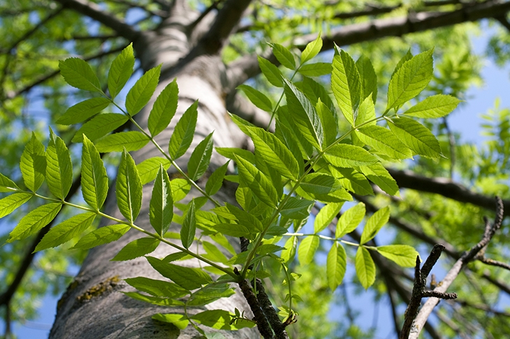 Is it too late to save Britain's ash trees?