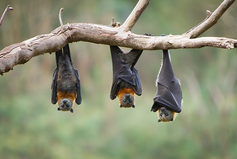 Why have so many of our recent diseases come from bats?