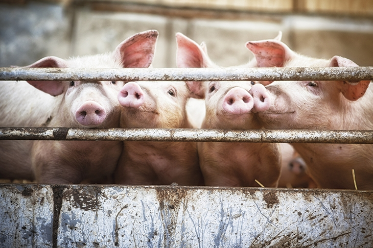 Pigs have a long history of performing remarkable feats