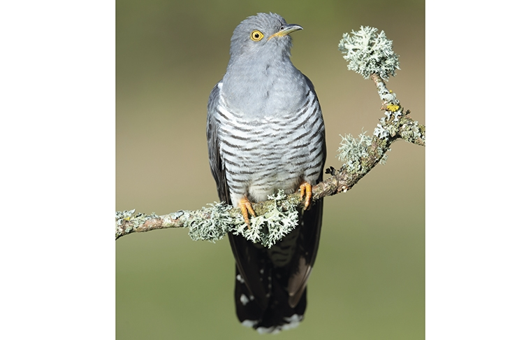 The cruelty and cunning of the cuckoo