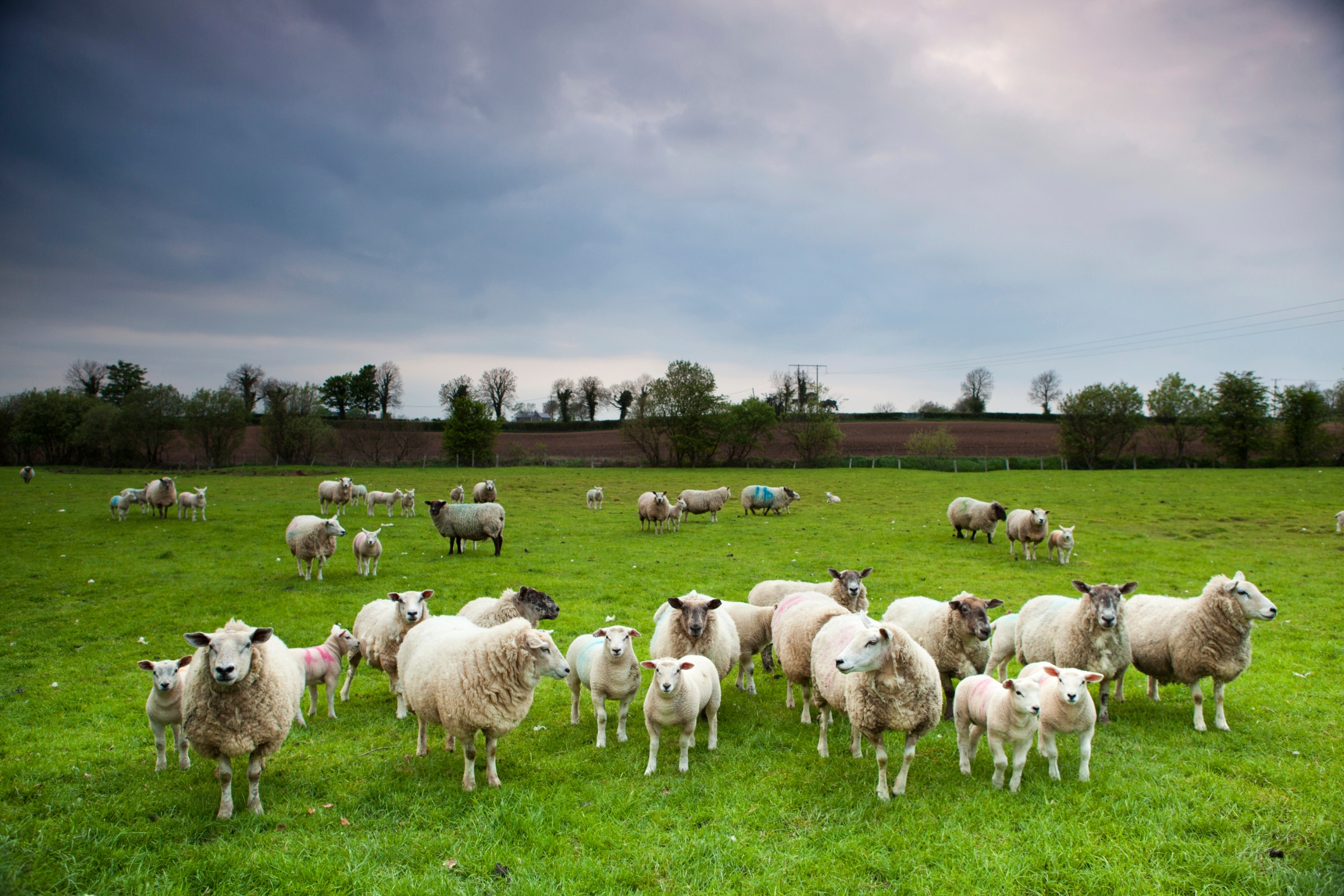 Meet the greatest threat to our countryside: sheep