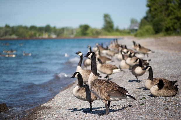 Of geese and men