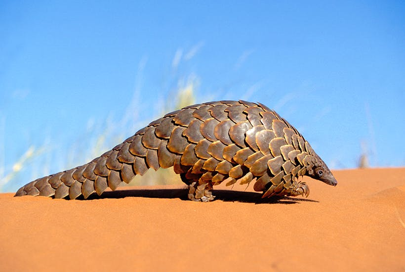 Pangolins are being blamed for coronavirus – and I'm sorry for eating one