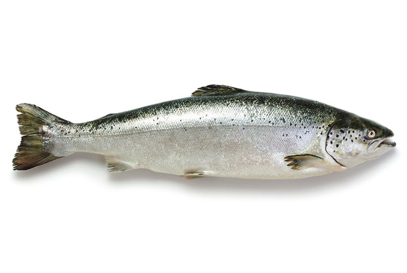 Upstream struggle: we are running out of time to save Britain's salmon