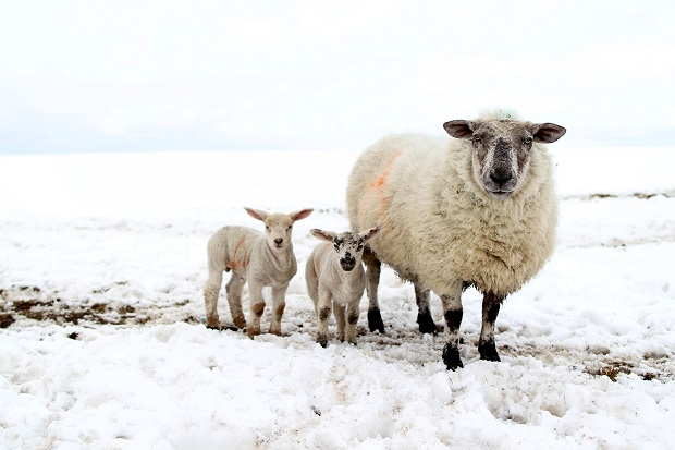 Are sheep the enemies of promise of the countryside?(PETER MUHLY/AFP/Getty Images)
